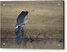 Great Blue Flight Manuever Acrylic Print