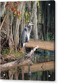 Great Blue Heron Acrylic Print by Jeff Wright
