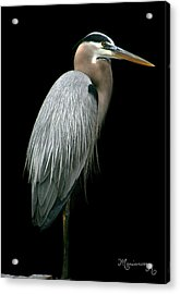 Acrylic Print featuring the photograph Great Blue Heron by Mariarosa Rockefeller
