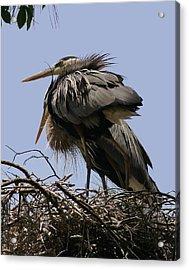 Great Blue Heron Pair 8x10  Acrylic Print by David Lynch