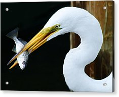 Great Catch Acrylic Print by Paulette Thomas