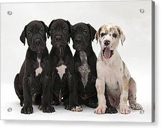 Great Dane Puppies Acrylic Print