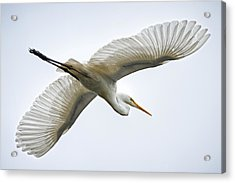 Great Egret Acrylic Print by Brad Grove