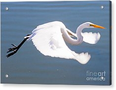 Great Egret In Flight Acrylic Print by Thomas Marchessault