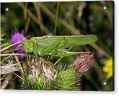 Great Green Bush-cricket Acrylic Print by Bob Gibbons