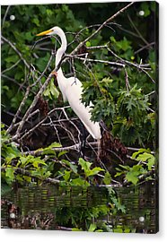 Great White Egret Acrylic Print