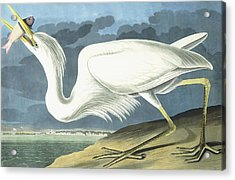 Great White Heron Acrylic Print by John James Audubon