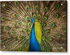 Green Beautiful Peacock Acrylic Print by Tosporn Preede