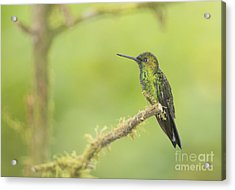 Green-crowned Brilliant Hummingbird Acrylic Print by Dan Suzio