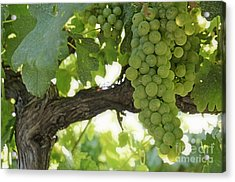 Green Grapes On Vineyards In Summer Acrylic Print by Sami Sarkis