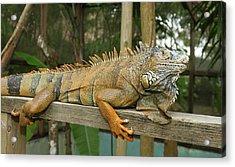 Green Iguana (iguana Iguana Acrylic Print