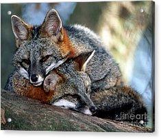 Grey Foxes Acrylic Print by Millard H. Sharp