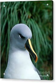 Grey-headed Albatross Acrylic Print by Hans Reinhard