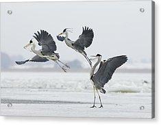 Grey Heron Trio Fighting Over Fish Acrylic Print