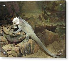 Grey Iguana  Acrylic Print by Ann Fellows