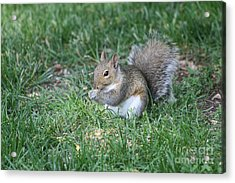 Grey Squirrel Acrylic Print by Lori Tordsen