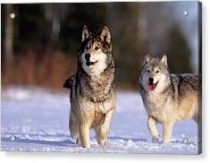 Grey Wolves In Snow Acrylic Print by William Ervin/science Photo Library
