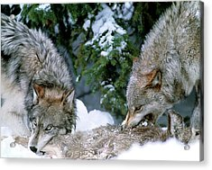 Grey Wolves With A Kill Acrylic Print by William Ervin/science Photo Library