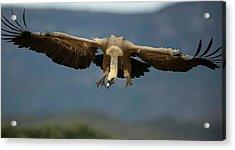 Griffon Vulture Flying Acrylic Print