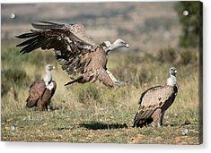 Griffon Vultures Acrylic Print
