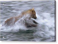 Grizzly Bear Chasing Fish Acrylic Print by Matthias Breiter