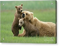Grizzly Cubs Play With Mom Acrylic Print