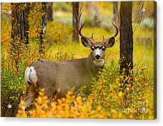Acrylic Print featuring the photograph Gros Ventre Buck by Aaron Whittemore