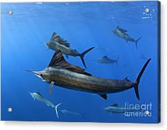 Group Of Sailfish Swimming In Blue Tropical Ocean Waters Acrylic Print by Brandon Cole