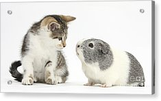 Guinea Pig And Kitten Acrylic Print by Mark Taylor