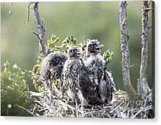 Gyrfalcons In Nest Acrylic Print by William H. Mullins