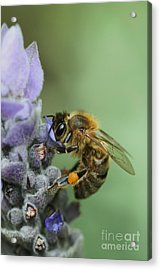 Happy Bee Acrylic Print by Joy Watson