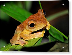Harlequin Flying Frog, Malaysia Acrylic Print by Fletcher & Baylis