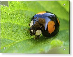 Harlequin Ladybird Acrylic Print by Heath Mcdonald