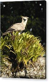 Harpy Eagle Chick In Kapok Tree Acrylic Print