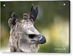 Harpy Eagle Harpia Harpyja Acrylic Print