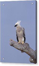 Harpy Eagle Juvenile Silk-cotton Tree Acrylic Print
