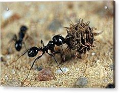 Harvester Ant Acrylic Print by Frank Fox