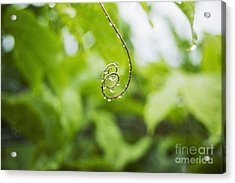 Hawaii, Oahu, Water Droplets On Curly Lilikoi Vine Tendril. Acrylic Print by Charmian Vistaunet