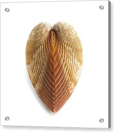 Heart Cockle Shell Acrylic Print by Science Photo Library