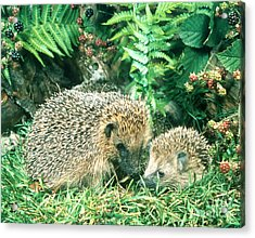 Hedgehog With Young Acrylic Print by Hans Reinhard