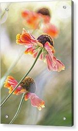 Helenium* Acrylic Print by Mandy Disher