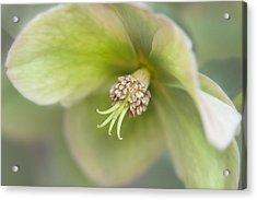 Helleborus Two Acrylic Print