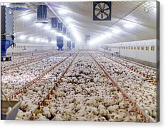Hens Feeding From Plastic Containers Acrylic Print