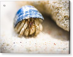 Hiding Hermit Crab Acrylic Print by Jorgo Photography - Wall Art Gallery