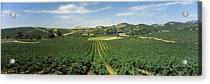 High Angle View Of A Vineyard, Carneros Acrylic Print by Panoramic Images