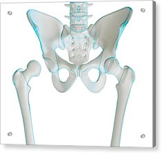 Hip Joint Bones And Anatomy, Artwork Acrylic Print by Science Photo Library