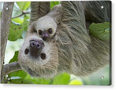Hoffmanns Two-toed Sloth And Old Baby Acrylic Print by Suzi Eszterhas