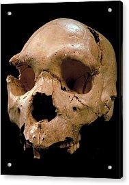 Homo Heidelbergensis Skull (cranium 5) Acrylic Print by Javier Trueba/msf