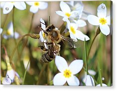 Honeybee On Bluet Acrylic Print