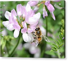 Honeybee On Crown Vetch Acrylic Print